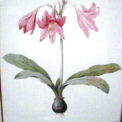 amaryllis-reticulata-by-pierre-joseph-redoute