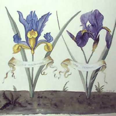 bontanical-iris-by-morland-floral