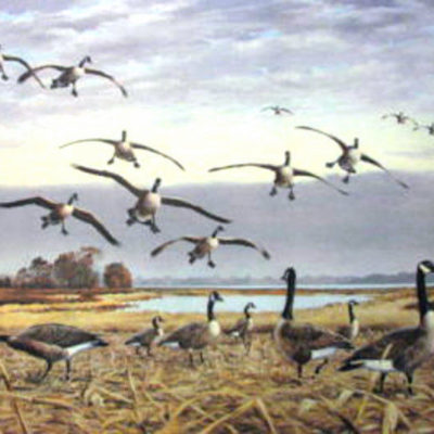 canada-geese-coming-in-by-maynard-reece