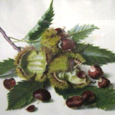 castanea-sativa-chestnuts-by-riefel-botanical