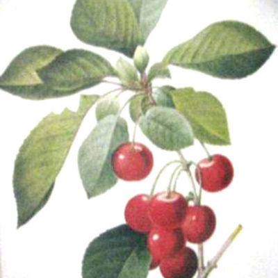 cerisier-royal-cherries-by-pierre-joseph-redoute
